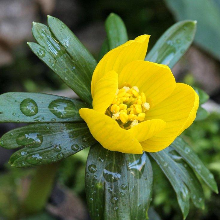 Květy talovínu zimního se otevírají už v únoru.