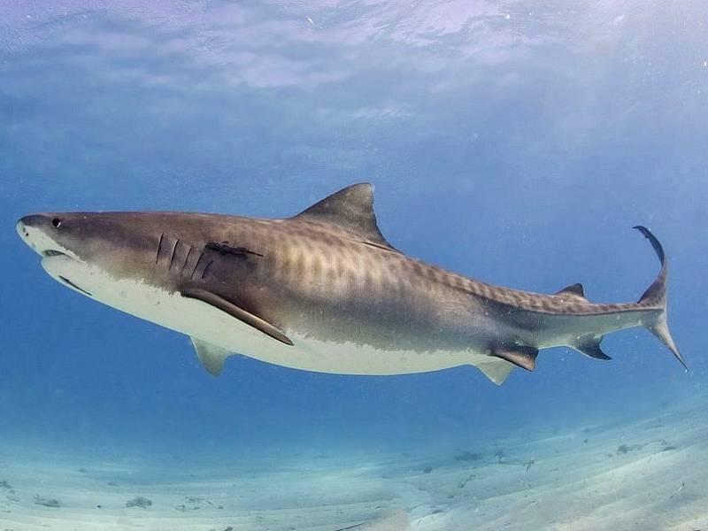 Žralok tygří. Ilustrační foto