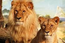 Lev konžský. Ilustrační foto.