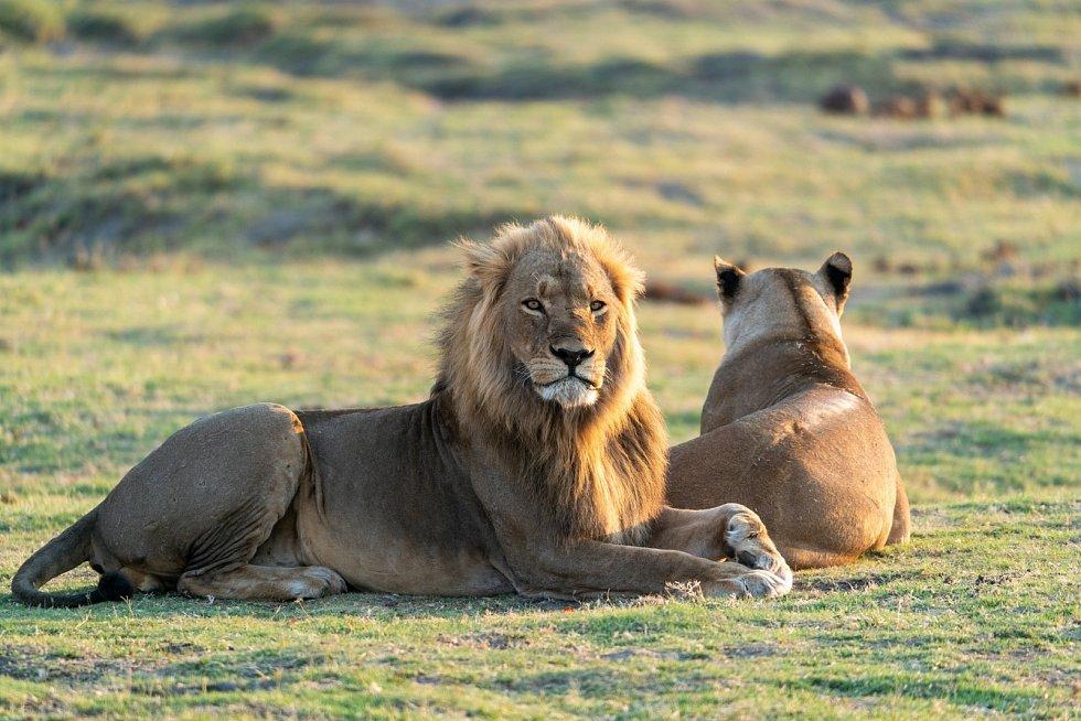 Takzvané nakažlivé zívání podle nových zjištění lvům pomáhá lépe koordinovat pohyby smečky.