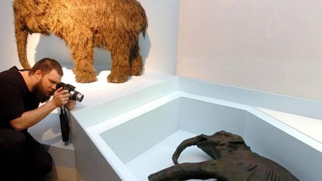 Zachovalé tělo mamutího mláděte v muzeu v Budapešti.