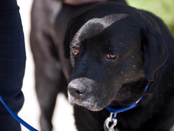 Černý labrador. Ilustrační foto.