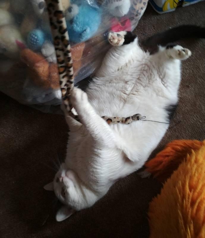 Pájinka: trochu přerostlá kočička, která se kulatá už narodila. Prý genová záležitost... Pájinku trápí anální žlázky.