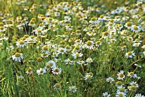 Heřmánek běžně roste jako plevel na polích.