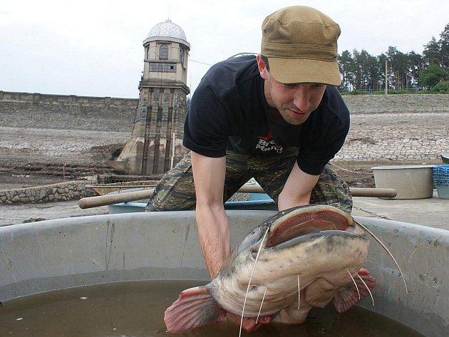 """Vypouštěná plumlovská přehrada vydala ve čtvrtek dalšího obra. """"Sumec má ke dvěma metrům, odhadem váží čtyřicet kilogramů,"""" řekl Ivo Krechler, vedoucí útvaru vod a rybářství státního podniku Povodí Moravy."""
