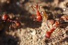 Ohniví mravenci