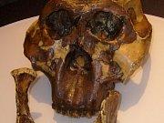 Model lebky australopitéka východoafrického, od jejíhož nálezu uplynulo 60 let