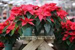 Vánoční hvězda je choulostivá na zimu a průvan.