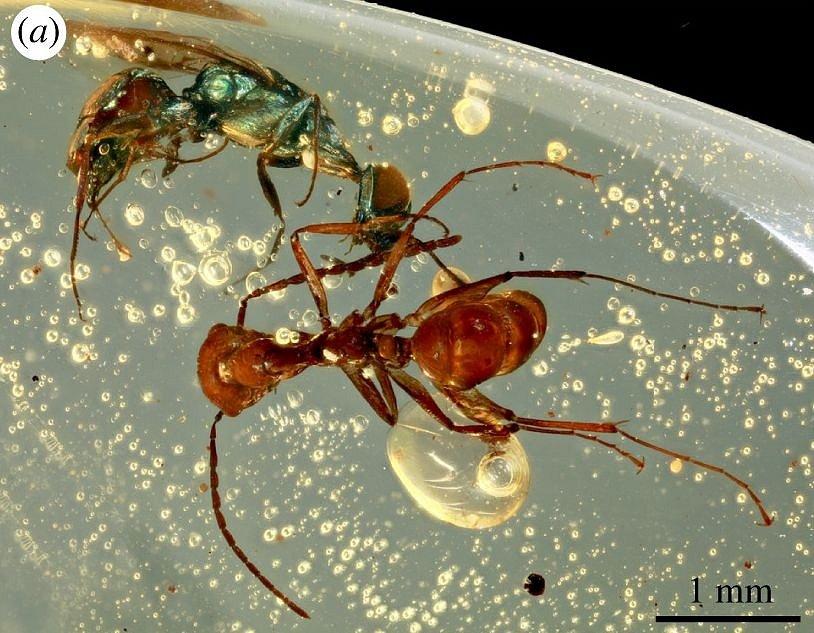 V kusu jantaru ze severního Myanmaru se dochoval rozmanitý, dodnes pestře zbarvený hmyz. Na snímku kovově zeleně zbarvená vosa a hnědý mravenec