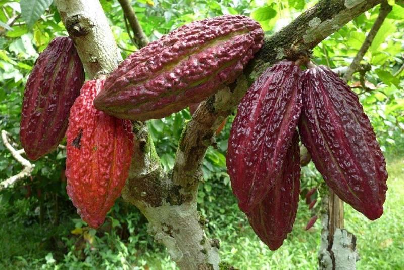 Kakaové boby na kakaovníku