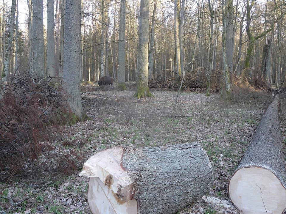 Zbytky původního evropského pralesa, domov Zubra evropského