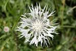 "Chrpa horská ""alba"" (Centaurea montana)"