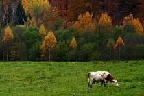 Tradiční česká plemena vytlačila moderní, s výrazně vyšší užitkovostí. Původní obyvatele českých pastvin a stájí zachraňuje genobanka.