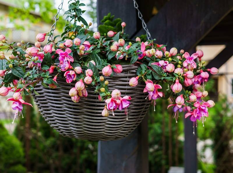 Takzvané nádobové či kbelíkové rostliny jsou druhy, které přes léto pěstujeme venku, ale na zimu vyžadují chladné, bezmrazové přezimování.
