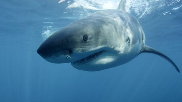 Žralok. Ilustrační snímek