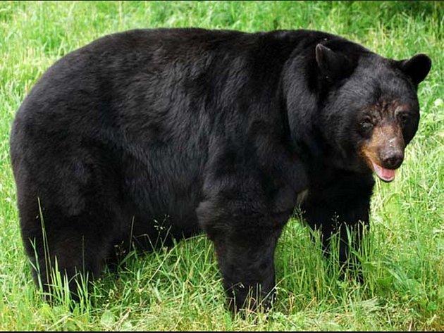 Tělo muže, který zemřel na infarkt ve venkovské oblasti severní Kalifornie, sežral medvěd baribal. Ilustrační foto.