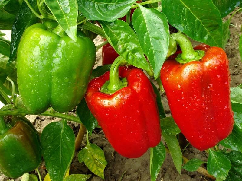 Podle nabídky některých řetězců ceny paprik dosahují zhruba 130 až 140 korun za kilogram, někde ale šplhají až ke dvěma stovkám za kilo.