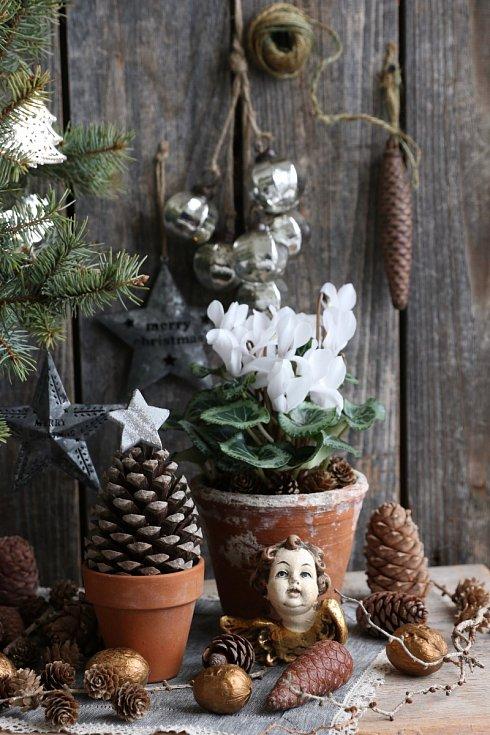 Mezi tradiční vánoční hrnkové květiny patří půvabný brambořík. Kvete od pozdního podzimu do začátku jara.