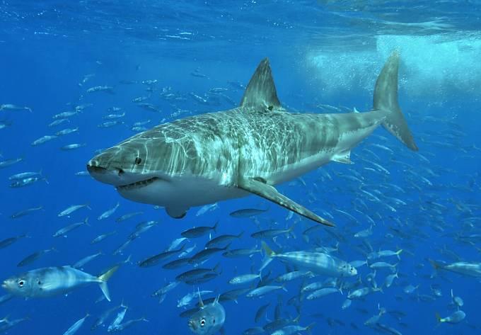 Vyhynutí megalodona bylo údajně způsobeno nástupem velkého bílého žraloka.