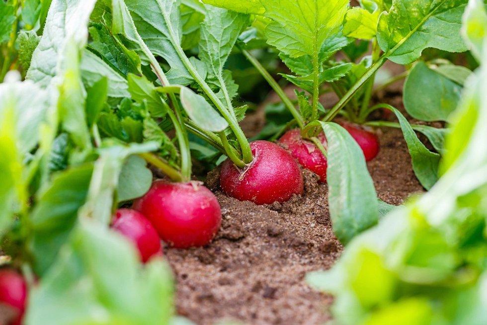 Ředkvičky rostou velmi rychle, obvykle si na nich malí zahradníci pochutnají zhruba už za čtyři týdny od výsevu.