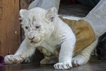 Bílé lvíče v ZOO Magdeburg