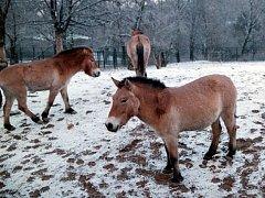 Pražská zoologická zahrada se v polovině července roku 2016 opět chystá přepravit do Mongolska čtyři klisny vzácného koně Převalského.