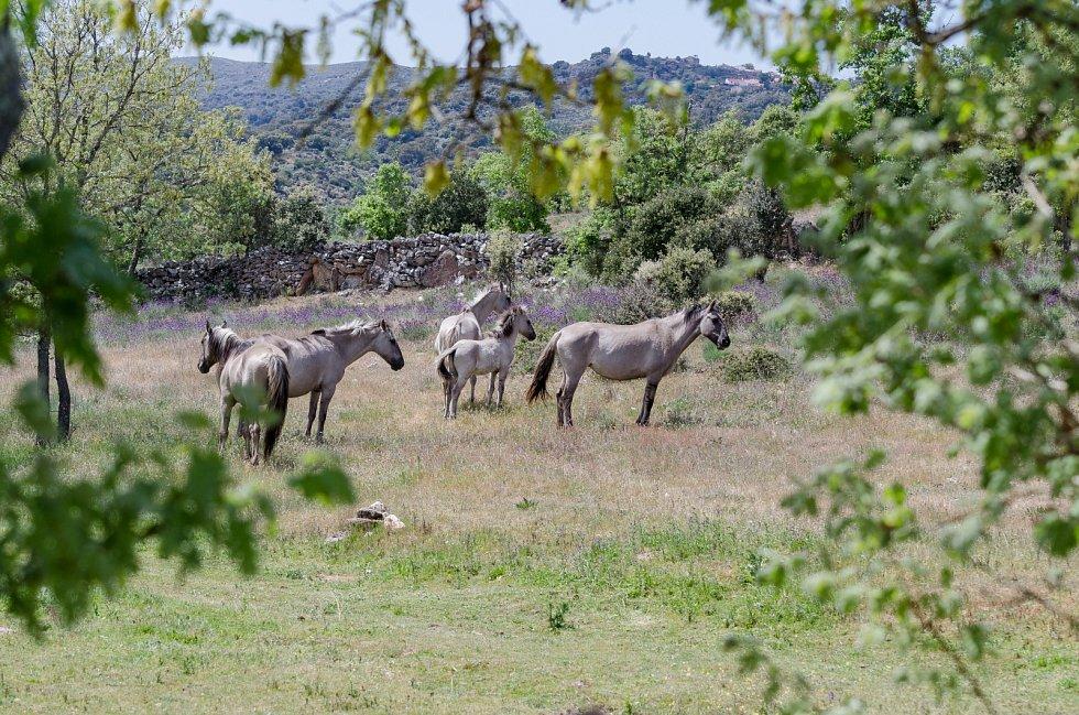 Volně žijící koně v přírodní rezervaci Faia Brava, Iberie, Portugalsko