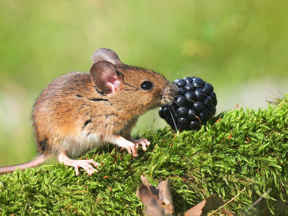Myšice křovinná mlsá