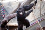 Šimpanz Julius