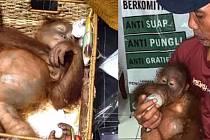 Uspaný orangutan, kterého Rus pašoval z Bali.