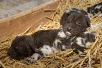Smečka kriticky ohroženého psa hyenovitého se rozrostla o šest štěňat