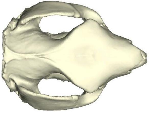 Prehistorický klokan Simosthenurus occidentalis