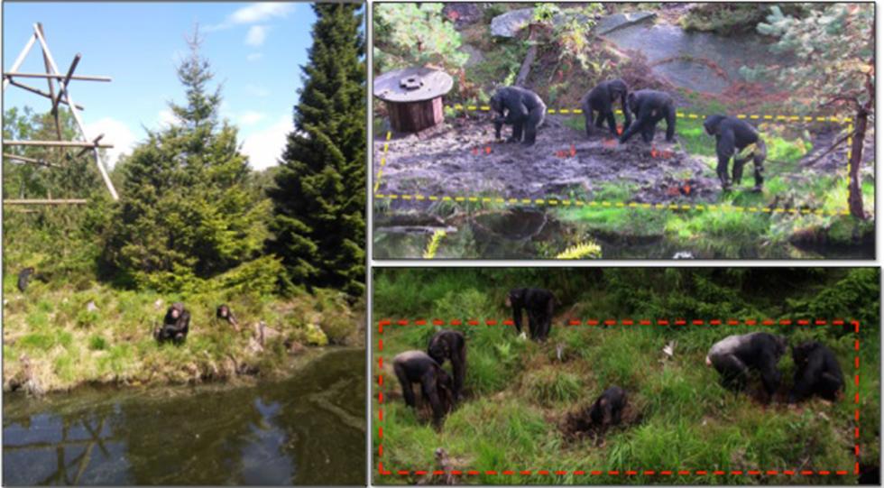 Šimpanzi z norské zoo použili nástroje, aby se dostali k zahrabané potravě