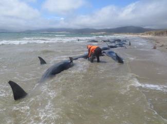 Na novozélandské pláži uhynulo 145 velryb