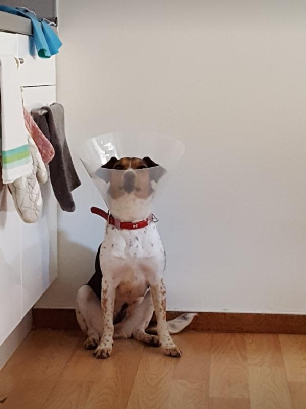 Pacientka Dynna - Český Strákatý Pes