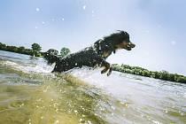 Pes se ochlazuje ve vodě během veder. Ilustrační snímek
