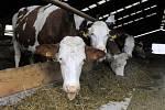 Krávy. Ilustrační snímek