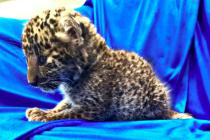 Mládě leoparda zabavené na indickém letišti