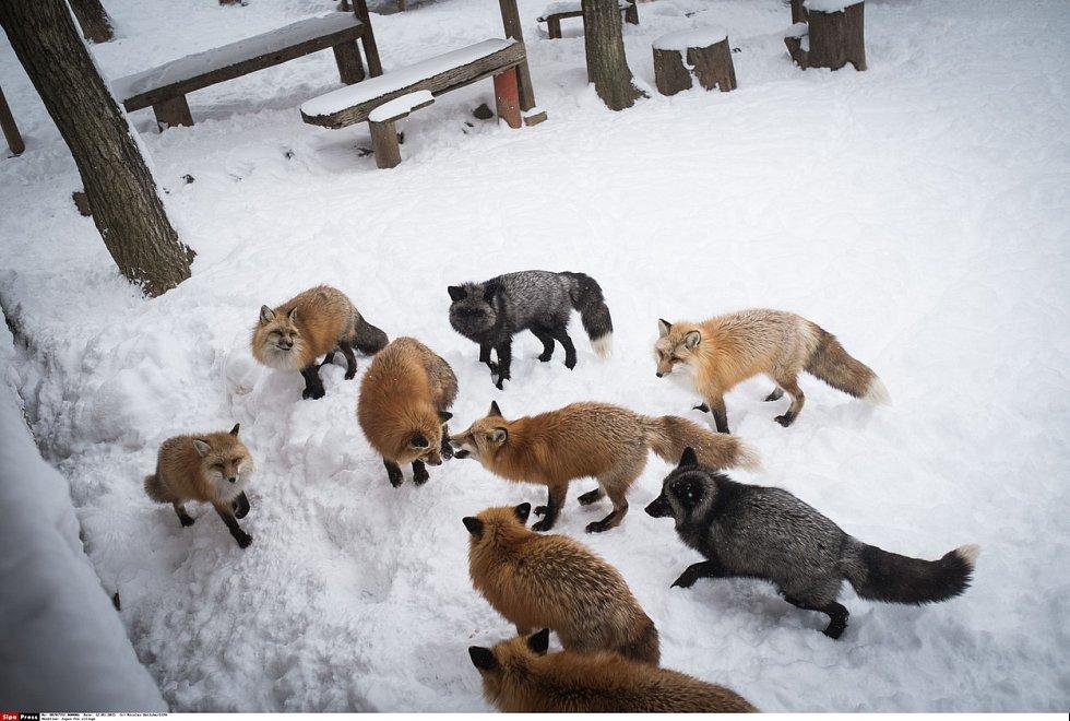 Návštěvníci mohou lišky pozorovat zblízka, zvířata jsou na lidskou přítomnost zvyklá