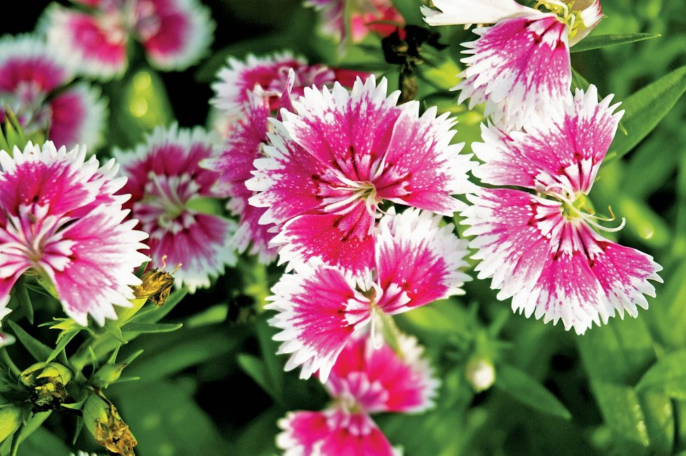 Květy hvozdíku