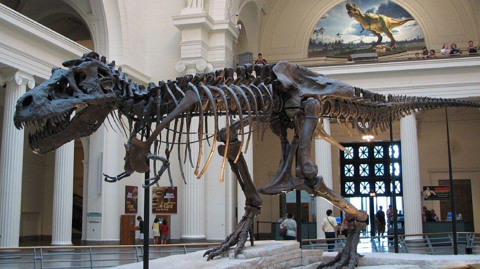 Kostra největšího a nejznámějšího exmpláře Tyrannosaura rexe byla pojmenována Sue a je vystavena ve Field Museum of Natural History v Chicagu.