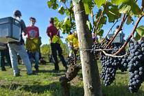 Úroda hroznů v Bordeaux nebude letos nijak radostná. Jarní mrazy poničily téměř pětinu vinic.