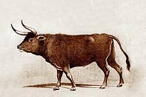Pratur je předkem domácího skotu, byl původně rozšířen v celé Evropě, části Asie a severní Africe. Poslední kus zahynul roku 1627 v rezervaci u polského Jaktorova, asi 50 km jihozápadně od Varšavy.
