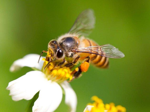 """Včelí """"jed"""" není pro zdravého člověka nijak nebezpečný. Na místo už babičky doporučovaly přiložit rozříznutou cibuli. Otok ochlazovat."""