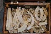 Devadesát procent slonoviny pochází ze slonů skolených pytláky.