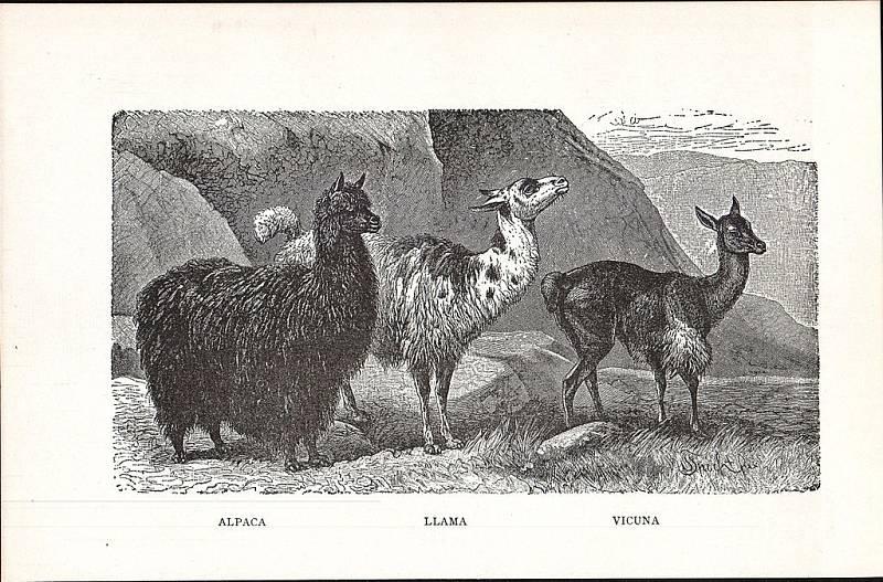 Porovnání alpaky, lamy a vicuny na obrazu z roku 1914