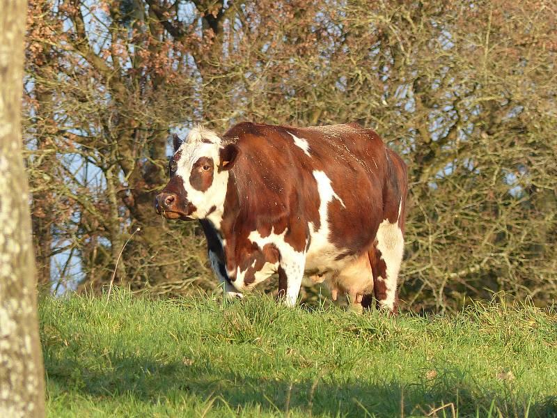 Normandský skot. Mezi chovateli je ceněn pro velkou dojivost. Denně dává kráva i 35 litrů mléka