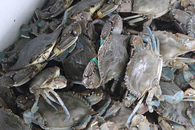 Sapa: Krabi jsou 100 procentně čerství