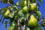 Hrušně mají vyšší nároky na prostředí než jabloň. Nevyžadují ale vyšší vzdušnou vlhkost, vyhovují jí spíše teplejší oblasti se sušším klimatem.