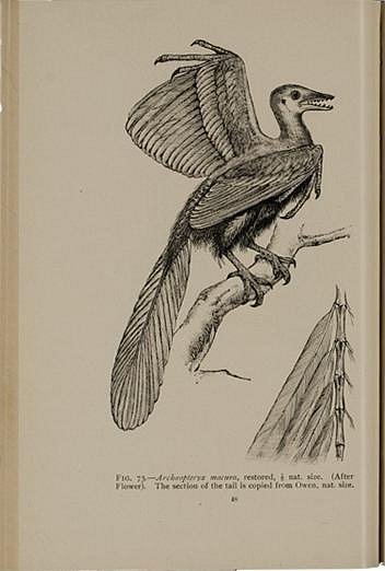 Archeopteryx macrura
